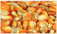 黄玉米 (饲料) -